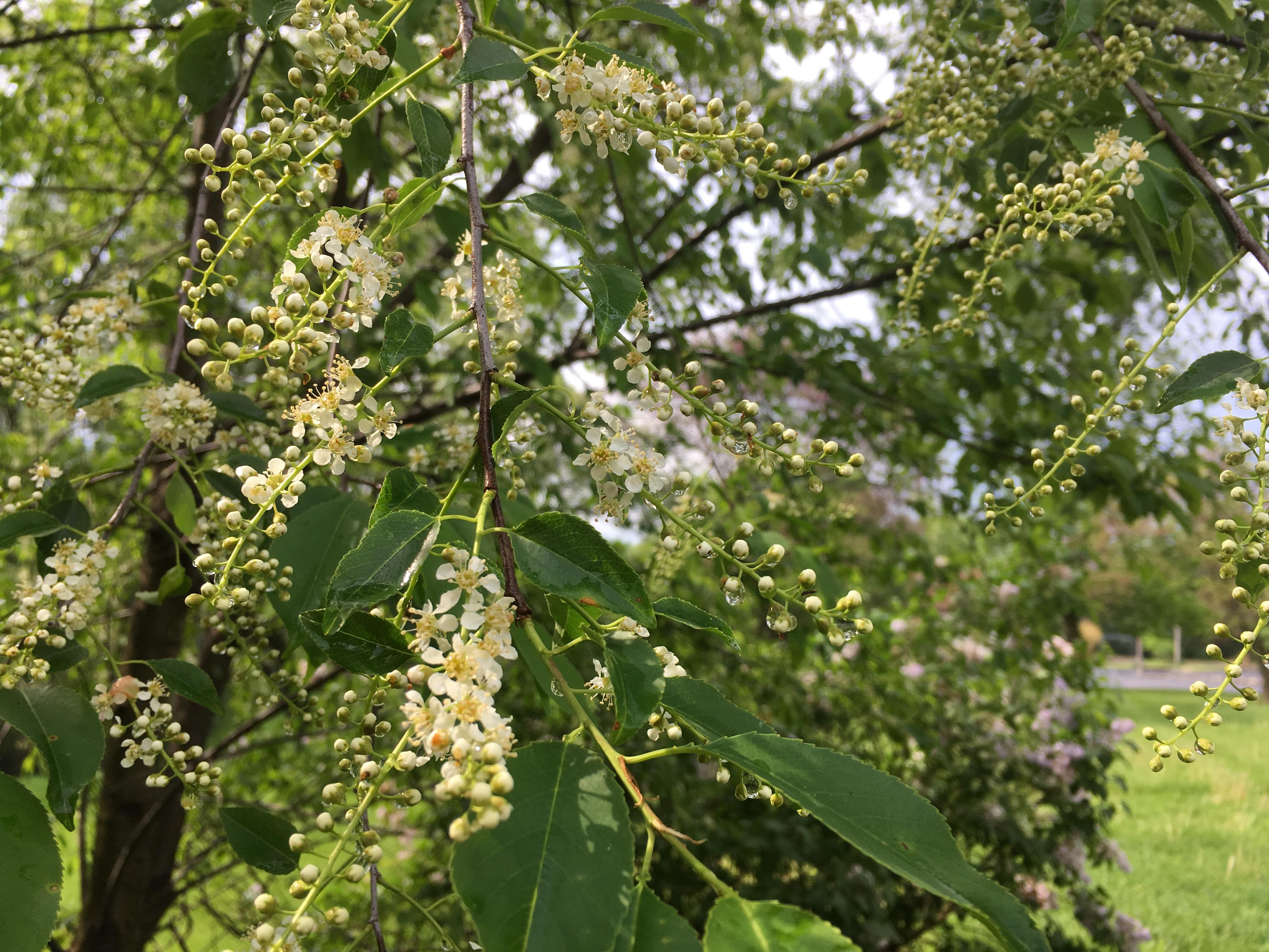Springtime at Peace Tree